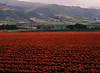Across a Field, San Luis Obispo, CA (Pentax 645)