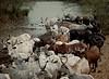 Longhorn Cattle, Waterhole, near Akossombo, Ghana