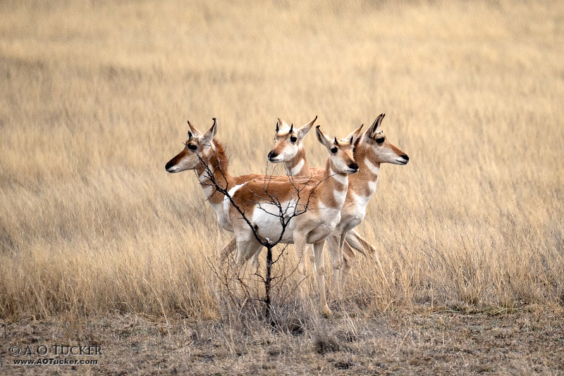Four Pronghorn Hiding Behind A Tree