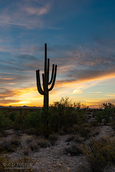 Organ Pipe Sunrise Saguaro Portrait