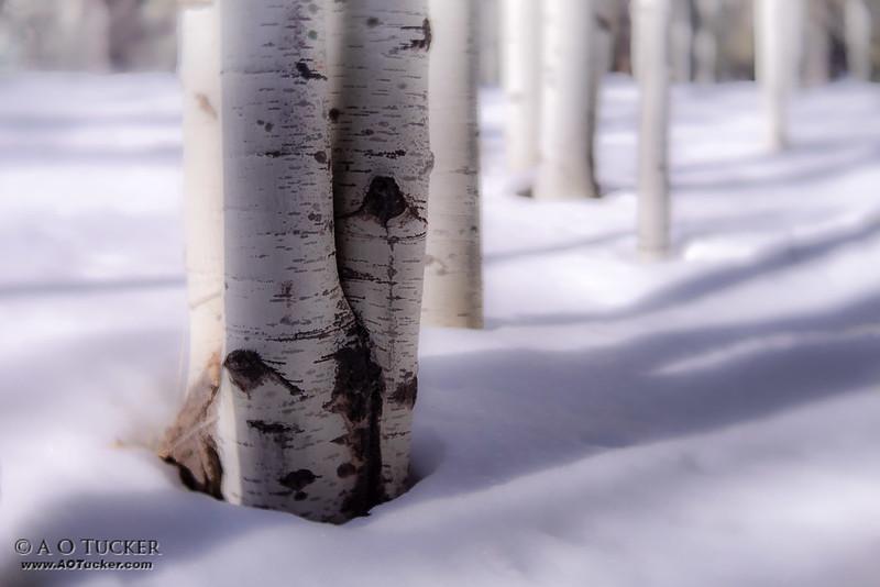Aspen Snow