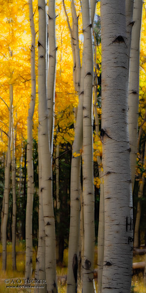 Stained Glass Aspens