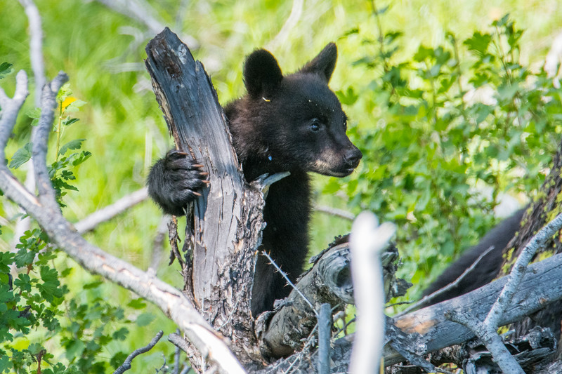Baby Bear Goes Exploring in Yellowstone National Park.