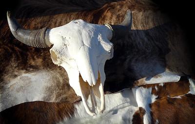 Pow Wow Cow Skull