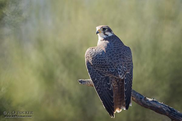 Prairie Falcon Royalty