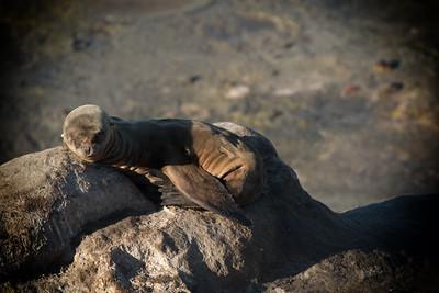 Baby Seal Sleeping