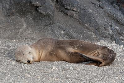 Seal Sleeping