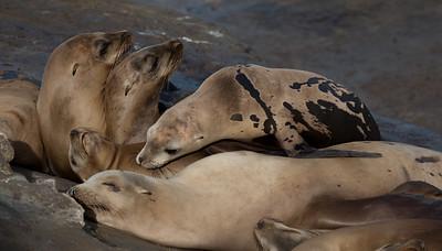 Seals Sleeping
