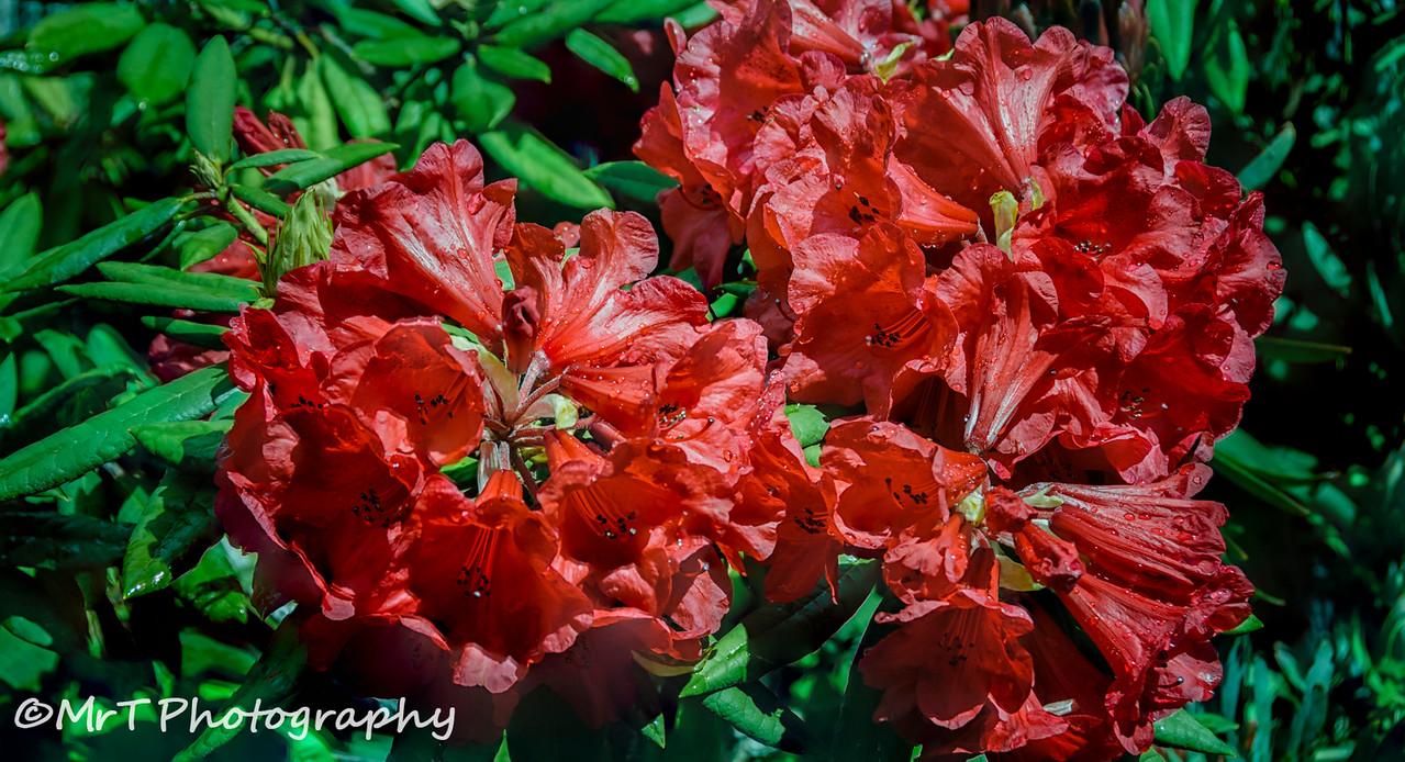 Rhododendron Henderson