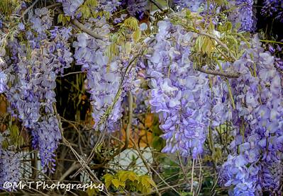 Purple wisteria Henderson