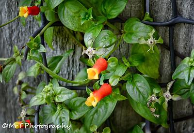 Firecracker vine Henderson