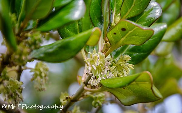 Flowering New Zealand laurel Henderson