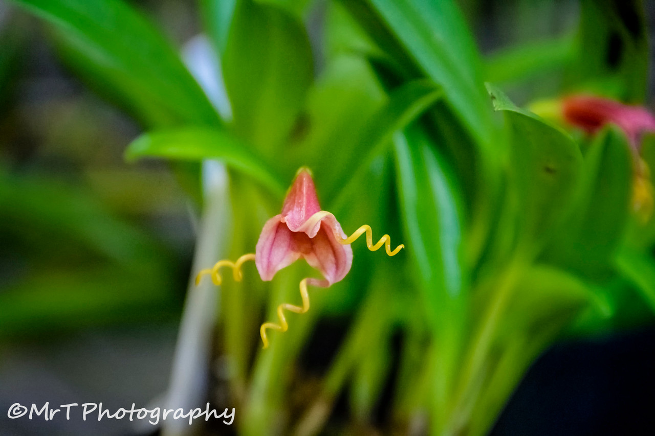 Masdevallia Curly George