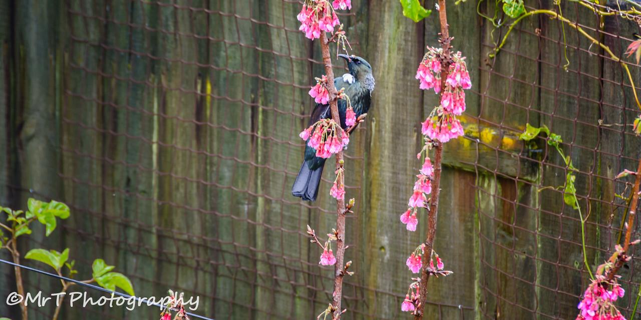 Tui in prunus campanulata superba cherry tree