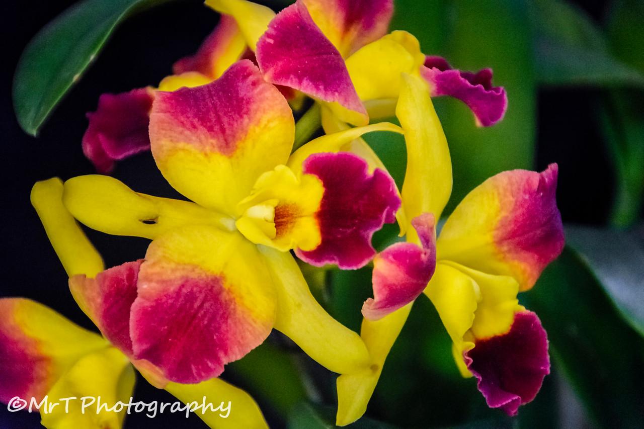 Cattleya 'Roy's Magic' orchid