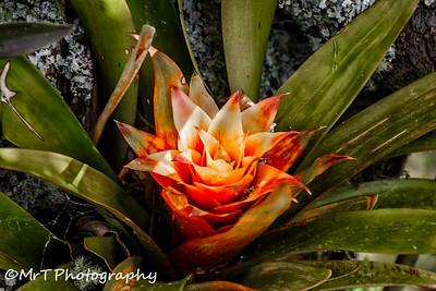 Bromeliad Henderson