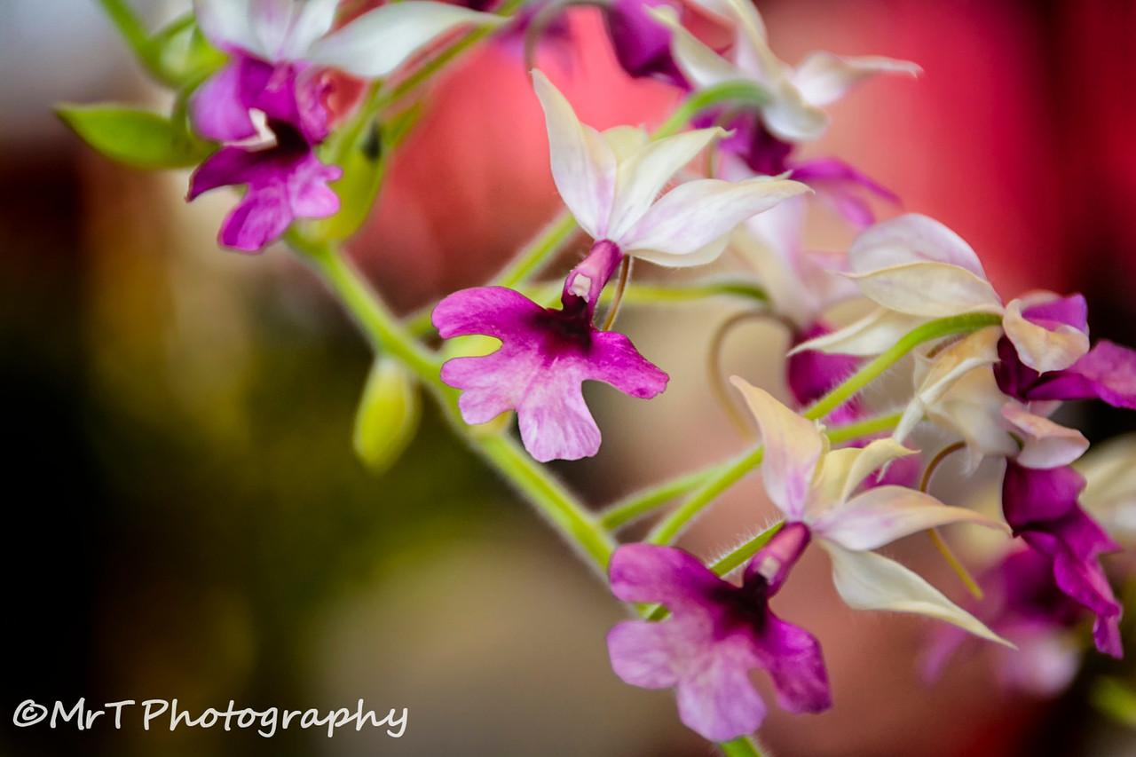 Calanthe vestita orchid