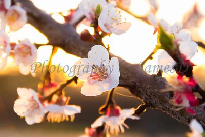 Apple Blossom Flowers 20170310-14