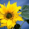 Sunflowers 20120113-44