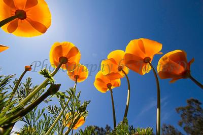 Poppy 20110329_01