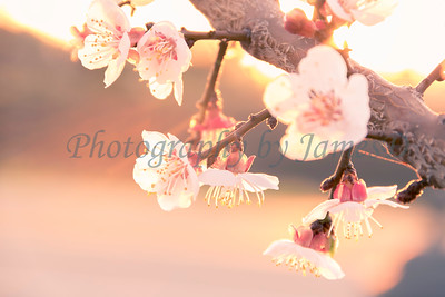 Apple Blossom Flowers 20170310-16-2