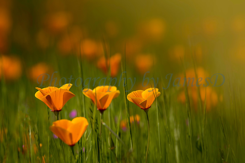 Poppies_in_Grass_20150318-55-Edit-2