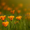 Poppies_in_Grass_20150318-55-Edit-2
