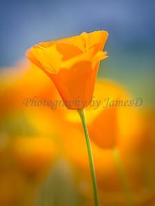 Poppy_(18x24x300dpi)print