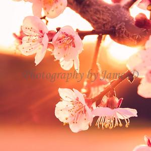 Apple Blossom Flowers 20170310-20