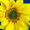 Sunflowers 20120113-33