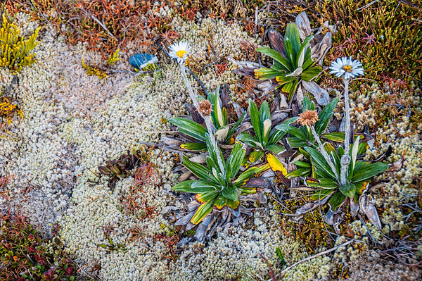 Mountain daisies Mangetapopo Valley Tongariro Crossing