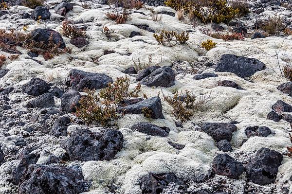 Alpine moss