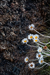 Mountain daisies over a stream Tongariro Crossing