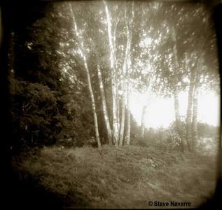 Birch stand, Helen lake, MI