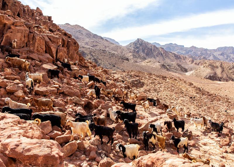 Goat Herd, Dana Mountains