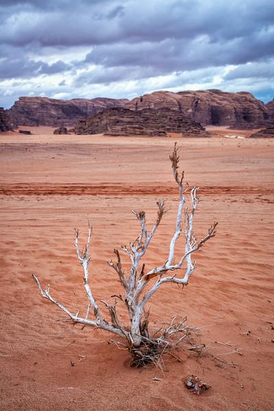 White Bush, Wadi Rum