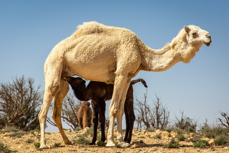 Nursing White Camel