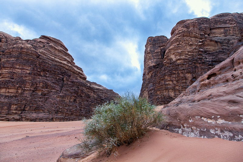 Flowered Bush, Wadi Rum