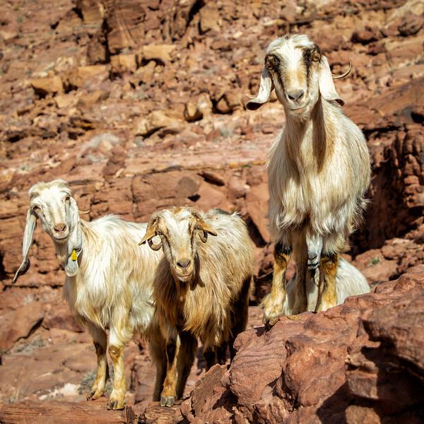 Curious Goats, Dana Bioshere Reserve