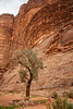 Olive Tree, Wadi Rum