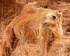 Camel Munching, Wadi Rum