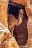 Camel in Cave, Petra