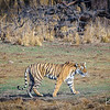 Although Ranthamore National Park is one of the best places in the world to attempt to observe tigers, even there it is unusual to see them.  We were very fortunate during our early morning game drive to encounter two tigers.  The first, this female, was not particularly close by was stalking prey in an open and forested terrain.  The second, a large male, was near our vehicle but was obscured in dense jungle.