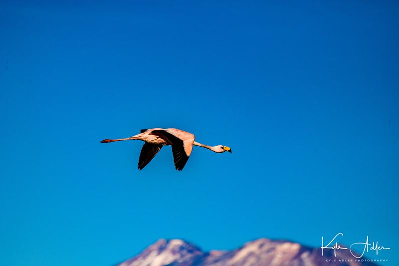 Three species of native pink flamingo live in the Atacama Salt Flat.