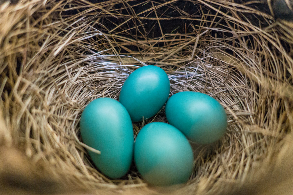 "ANIMALS BY AIR 00697<br /> <br /> ""Robin Eggs"""