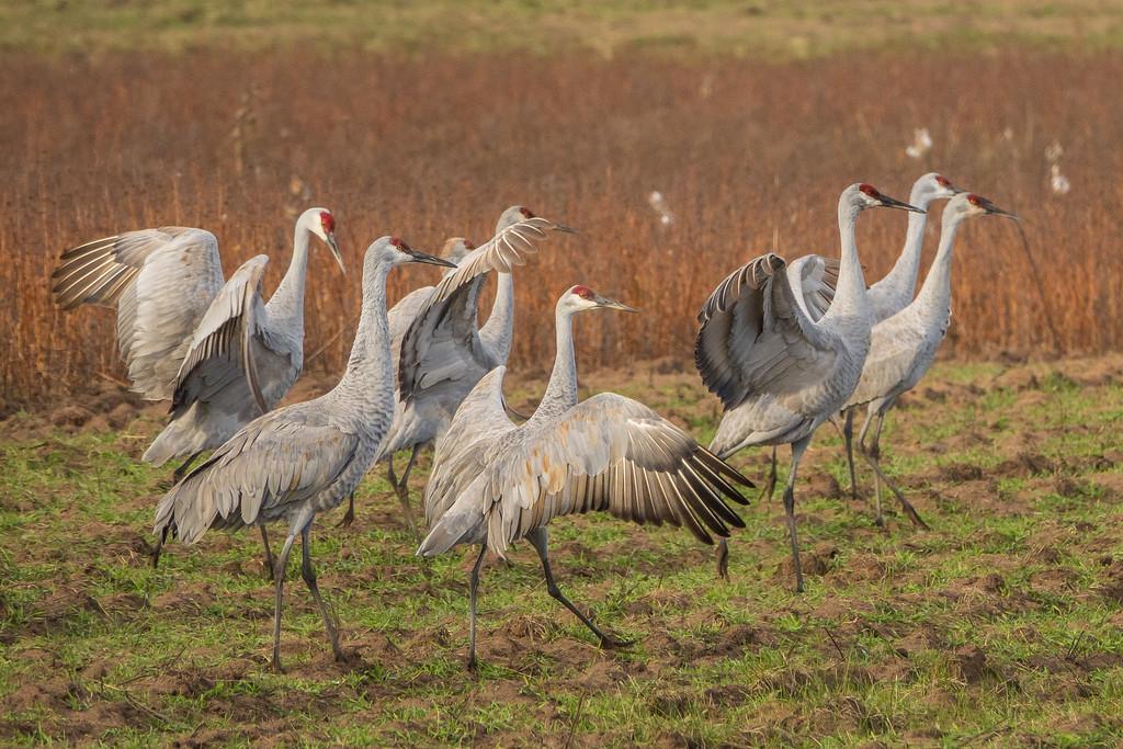 "SANDHILL CRANES 02731<br /> <br /> ""Strutting Sandhills""<br /> <br /> Crex Meadows Wildlife Area - Grantsburg, Wisconsin"