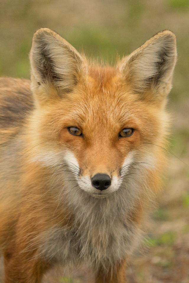 """FOX 04376<br /> <br /> """"Foxy"""""""