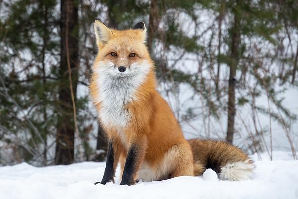 """""""Gunflint Fox"""""""