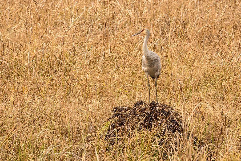"""SANDHILL CRANES 02831<br /> <br /> """"Sandhill Sentry""""<br /> <br /> Crex Meadows Wildlife Area - Grantsburg, Wisconsin"""