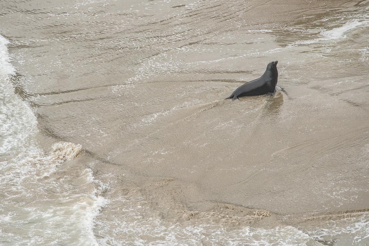 "OREGON 3002<br /> <br /> ""Seal heading for shore""<br /> <br /> Near Heceta Head Lighthouse"